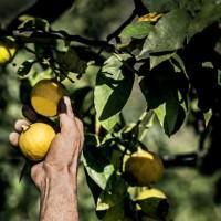 """""""Il bergamotto: risorsa reggina"""". Storia, usi e consumi di un agrume speciale"""