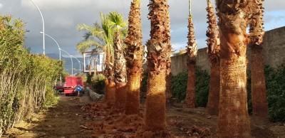 palme sul calopinace 2