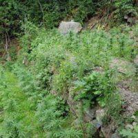 Scoperta coltivazione di marijuana: 12 indagati in provincia di Reggio