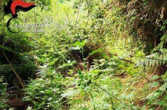Provincia di Reggio, 4 arresti dei Carabinieri per coltivazione di canapa indiana
