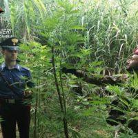 Reggio, scoperta piantagione di marijuana: arrestato un 56enne