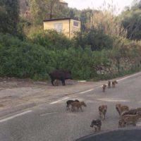 Coldiretti Calabria - Sos incidenti da cinghiali, sono un milione