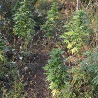 Sequestrata piantagione di Cannabis in provincia di Reggio Calabria