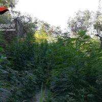 Scoperta una nuova piantagione di marijuana in provincia di Reggio