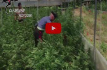 Operazione 'Piana stupefacente': le piantagioni e la droga rinvenute dai Carabinieri