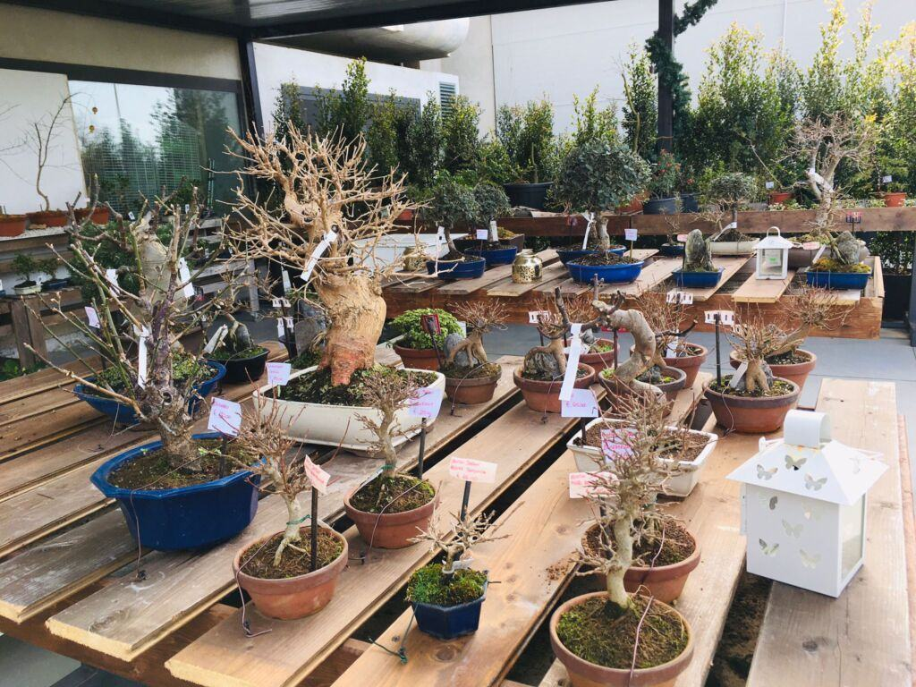 Orchidea Staff Centro Bonsai (10)