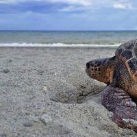 """Tutela nidi tartarughe """"Caretta Caretta"""" in Calabria, la Regione fermi l'uso delle ruspe per la pulizia delle spiagge"""