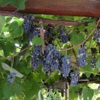 CityWine - L'illegalità del vino fragolino